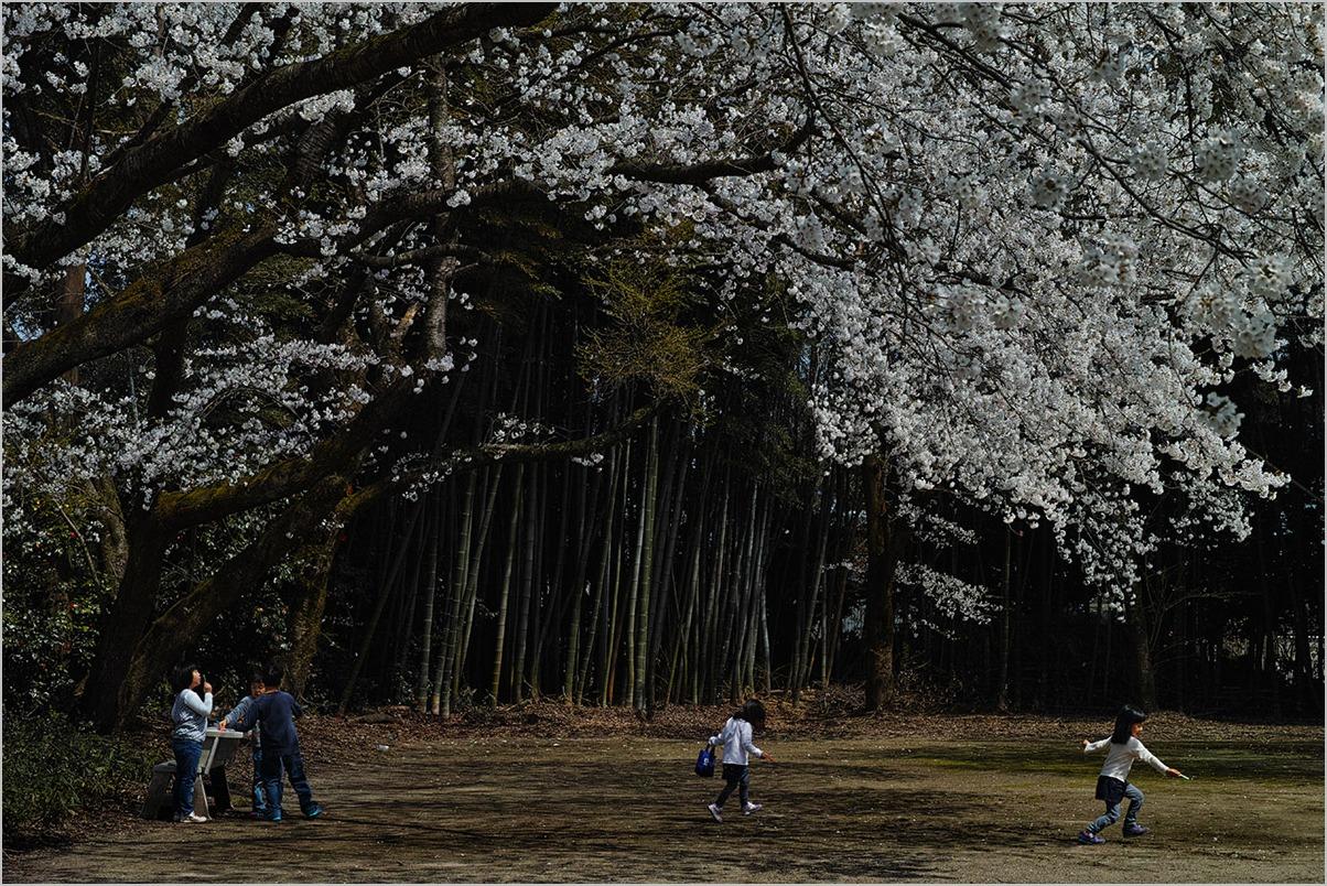 満開の桜の木の下で under the cherry blossom # SIGMA DP3 Quattro_c0065410_20334958.jpg