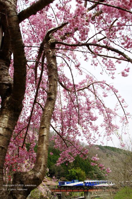 満開の枝垂れ桜を_d0309612_0251856.jpg
