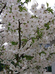 さくらさくら「日本人起源と桜起源同一説」誕生:日本と韓国の桜は別品種だ!_e0171614_10165737.jpg