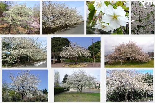 さくらさくら「日本人起源と桜起源同一説」誕生:日本と韓国の桜は別品種だ!_e0171614_1019141.png