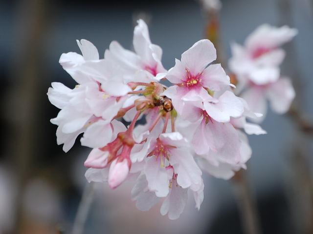 さくらさくら「日本人起源と桜起源同一説」誕生:日本と韓国の桜は別品種だ!_e0171614_10213495.jpg