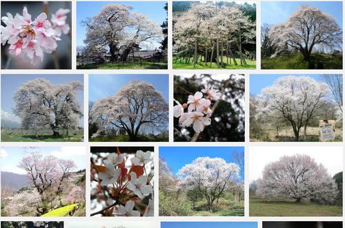 さくらさくら「日本人起源と桜起源同一説」誕生:日本と韓国の桜は別品種だ!_e0171614_10213985.png