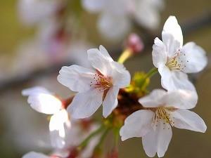 さくらさくら「日本人起源と桜起源同一説」誕生:日本と韓国の桜は別品種だ!_e0171614_1022538.jpg