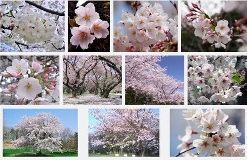 さくらさくら「日本人起源と桜起源同一説」誕生:日本と韓国の桜は別品種だ!_e0171614_10225849.png