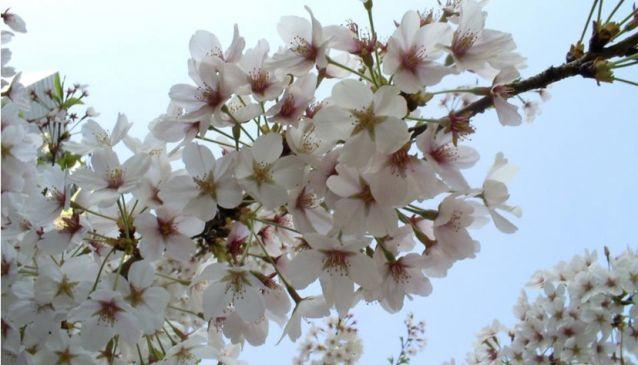 さくらさくら「日本人起源と桜起源同一説」誕生:日本と韓国の桜は別品種だ!_e0171614_10251020.jpg