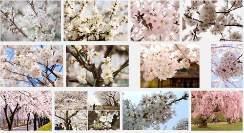 さくらさくら「日本人起源と桜起源同一説」誕生:日本と韓国の桜は別品種だ!_e0171614_10254773.png