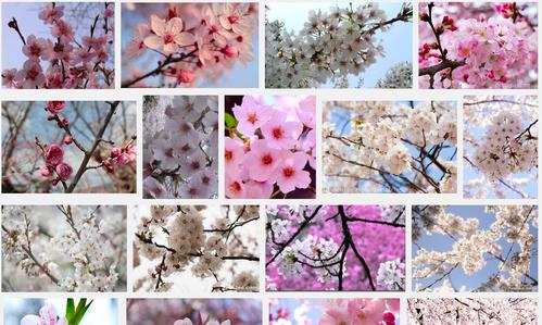 さくらさくら「日本人起源と桜起源同一説」誕生:日本と韓国の桜は別品種だ!_e0171614_102550100.png