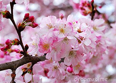 さくらさくら「日本人起源と桜起源同一説」誕生:日本と韓国の桜は別品種だ!_e0171614_1025850.jpg