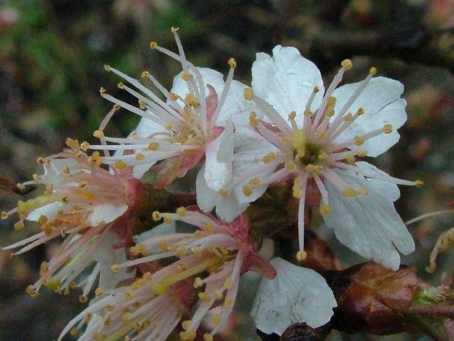 さくらさくら「日本人起源と桜起源同一説」誕生:日本と韓国の桜は別品種だ!_e0171614_10301850.jpg