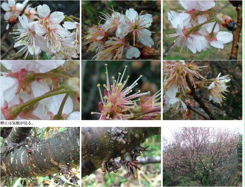 さくらさくら「日本人起源と桜起源同一説」誕生:日本と韓国の桜は別品種だ!_e0171614_10305433.png