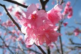 さくらさくら「日本人起源と桜起源同一説」誕生:日本と韓国の桜は別品種だ!_e0171614_10312768.jpg