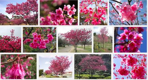 さくらさくら「日本人起源と桜起源同一説」誕生:日本と韓国の桜は別品種だ!_e0171614_10313312.png