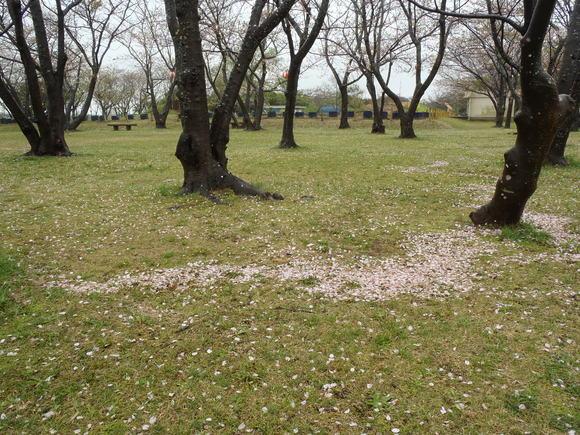 ●4月14日(火)かみす桜まつり会場開花状況●_f0229750_9185878.jpg