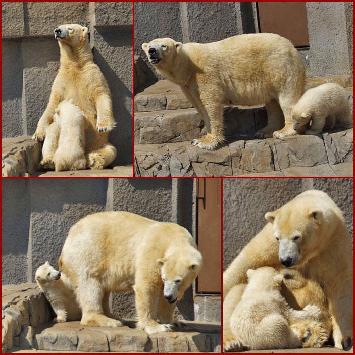 北極白熊の親子_d0162994_14105612.jpg