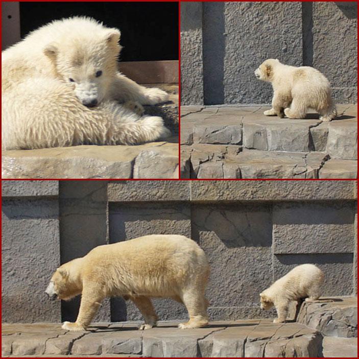 北極白熊の親子_d0162994_14111017.jpg