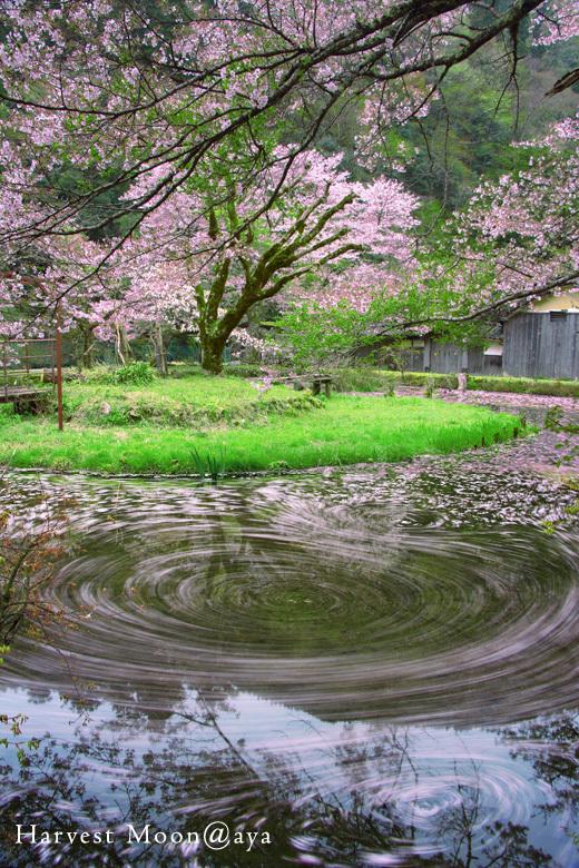 散桜_b0208495_23455912.jpg