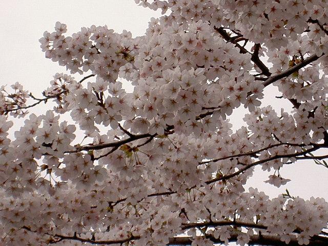 お花見ですね♪                                                                             2015.4/15(水)_d0195024_15540053.jpg