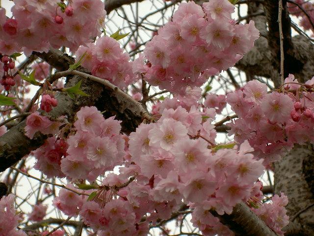 お花見ですね♪                                                                             2015.4/15(水)_d0195024_15543772.jpg