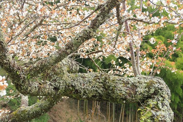 三多気桜まつり散策 (その3)_e0321325_12572192.jpg