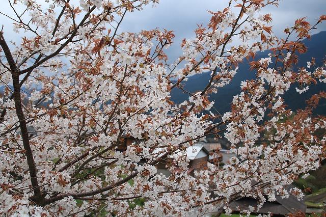 三多気桜まつり散策 (その3)_e0321325_1322015.jpg