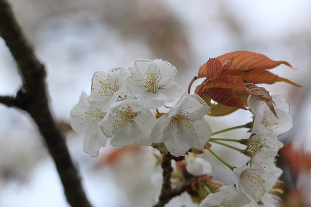 三多気桜まつり散策 (その3)_e0321325_1323458.jpg