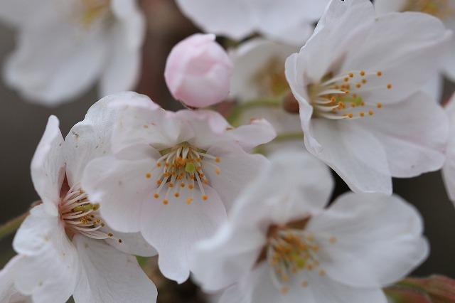 三多気桜まつり散策 (その3)_e0321325_132577.jpg