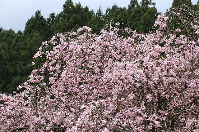 三多気桜まつり散策 (その3)_e0321325_1332085.jpg