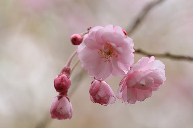 三多気桜まつり散策 (その3)_e0321325_13331100.jpg