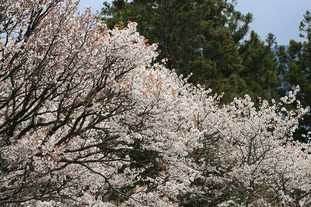 三多気桜まつり散策 (その3)_e0321325_133954.jpg