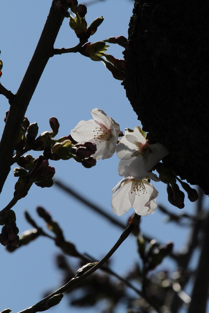 桜が咲いた_c0111229_1813031.jpg