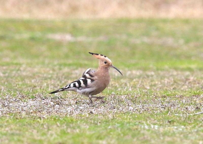 ヤツガシラは、少ない旅鳥として渡来_b0346933_7232052.jpg