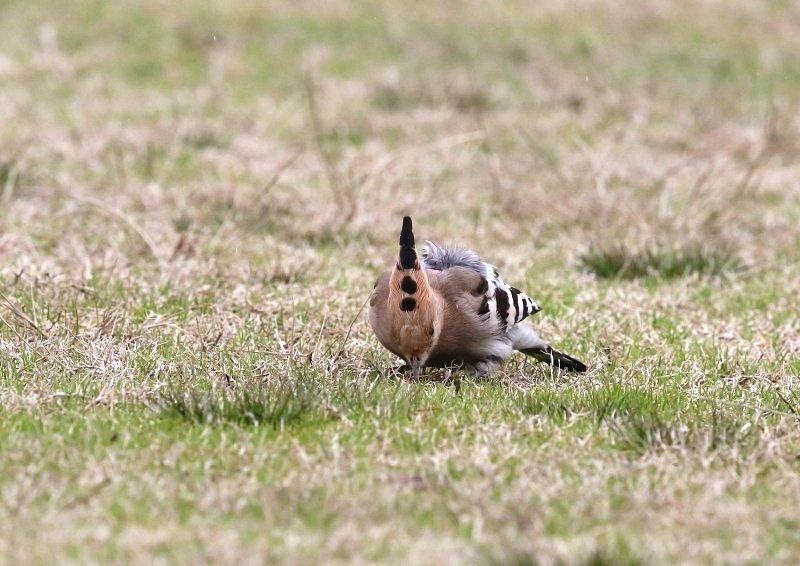 ヤツガシラは、少ない旅鳥として渡来_b0346933_7232846.jpg