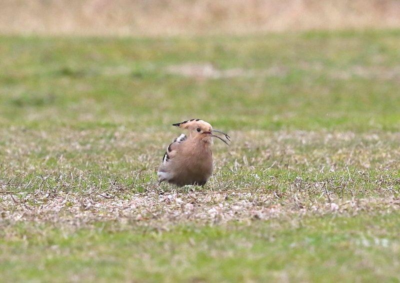 ヤツガシラは、少ない旅鳥として渡来_b0346933_7233540.jpg
