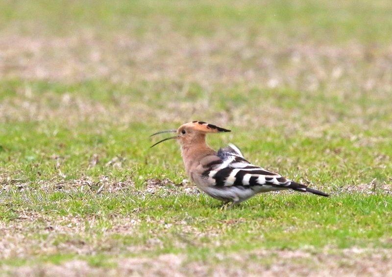 ヤツガシラは、少ない旅鳥として渡来_b0346933_7234137.jpg