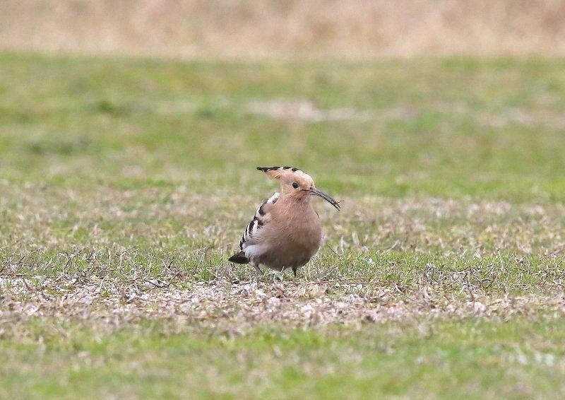 ヤツガシラは、少ない旅鳥として渡来_b0346933_7234841.jpg