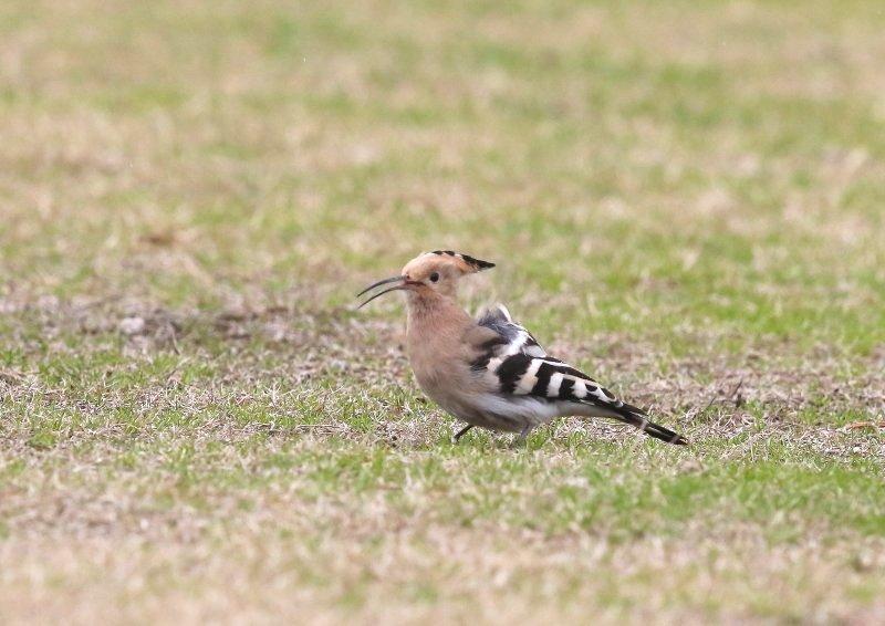 ヤツガシラは、少ない旅鳥として渡来_b0346933_7235429.jpg
