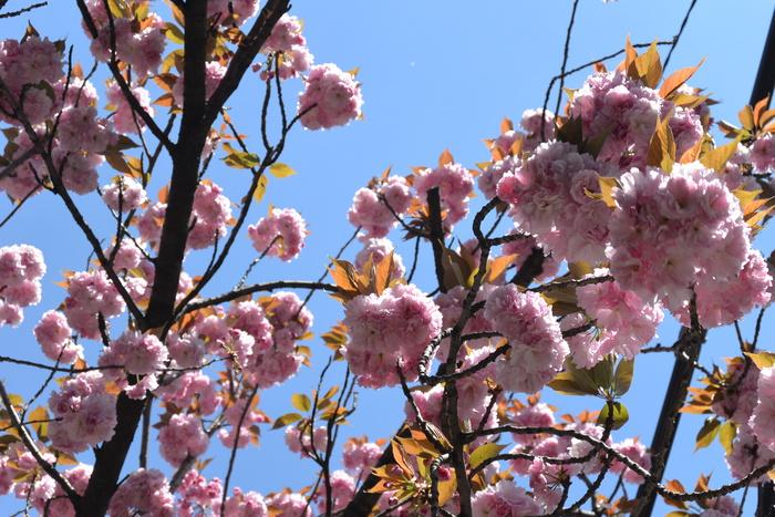 お店の前の八重桜、見頃です。&4月16日(木)のランチメニュー_d0243849_2348356.jpg
