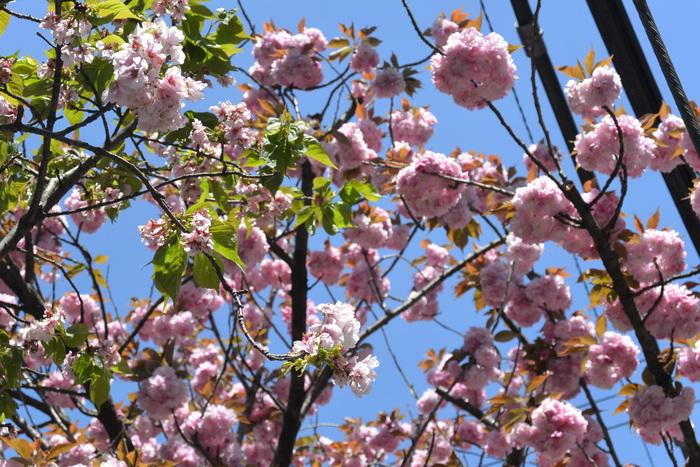お店の前の八重桜、見頃です。&4月16日(木)のランチメニュー_d0243849_23494638.jpg