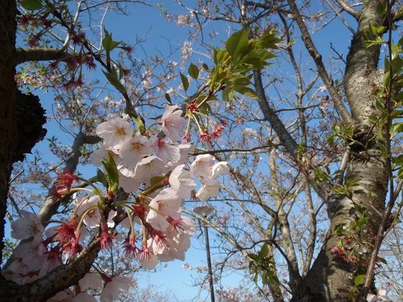●4月15日(水)かみす桜まつり会場開花状況●_f0229750_9551184.jpg