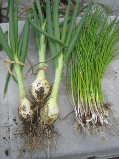 早春の収穫物いろいろ_e0121558_21502430.jpg