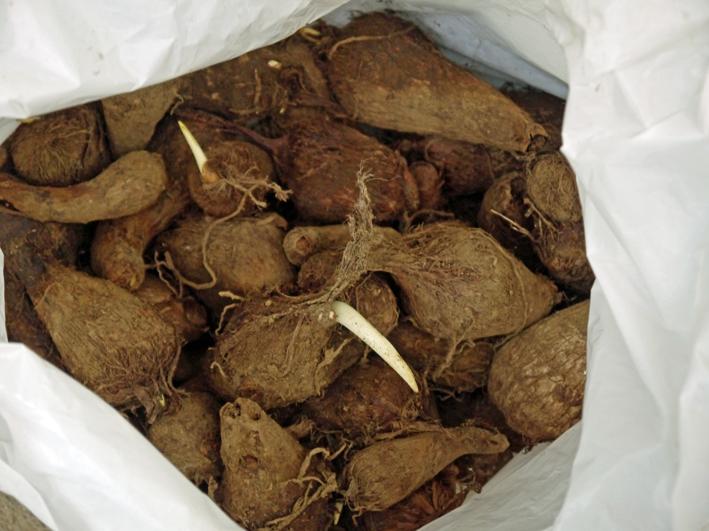 東大社宮司からいただいた山形芋(サトイモ)の種芋植え付け_c0014967_144563.jpg