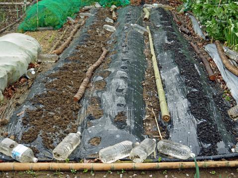 東大社宮司からいただいた山形芋(サトイモ)の種芋植え付け_c0014967_1452038.jpg
