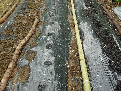 東大社宮司からいただいた山形芋(サトイモ)の種芋植え付け_c0014967_1453311.jpg