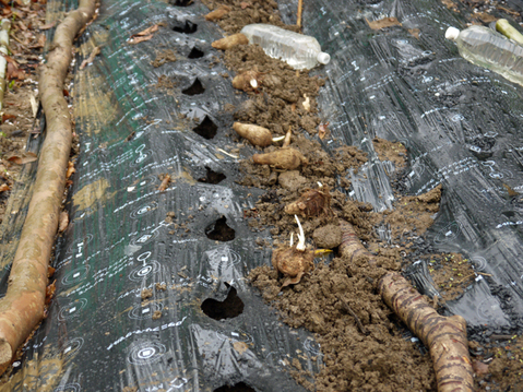 東大社宮司からいただいた山形芋(サトイモ)の種芋植え付け_c0014967_1455933.jpg