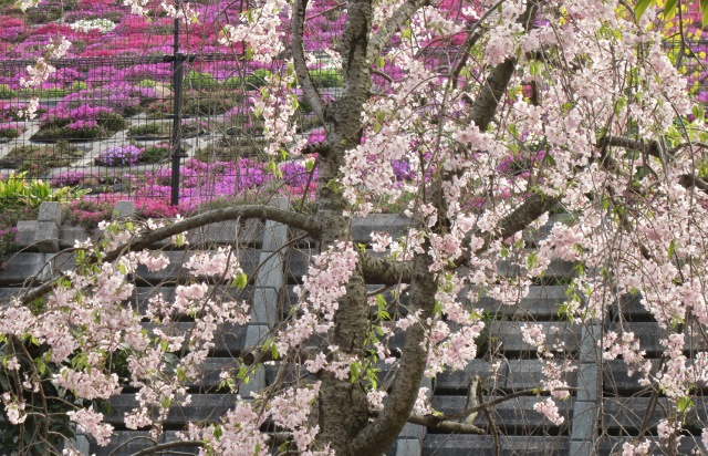 芝桜      _c0009275_2357459.jpg
