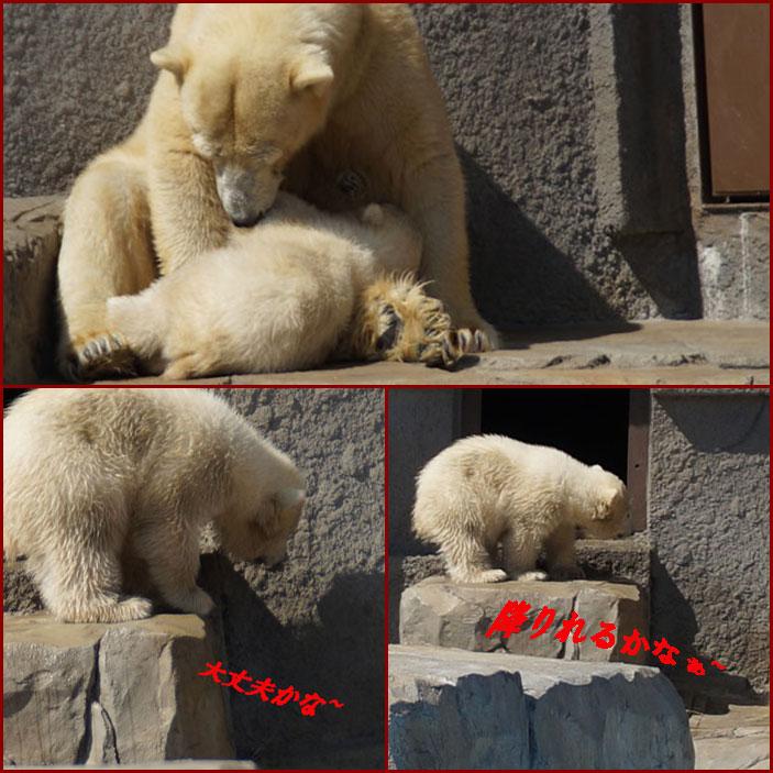 北極白熊の親子・・2・・・動画_d0162994_1305991.jpg