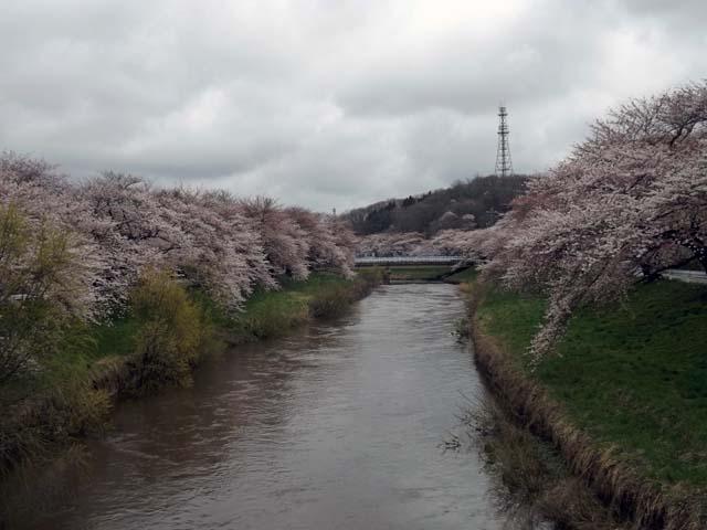 秋田市の桜が咲きました_f0019498_14462315.jpg