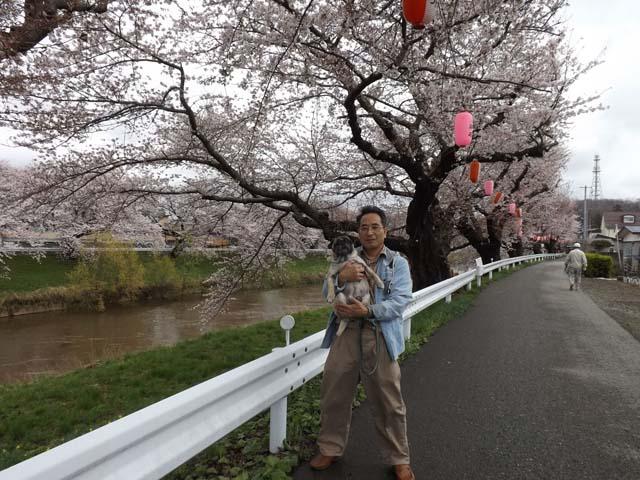 秋田市の桜が咲きました_f0019498_14465745.jpg