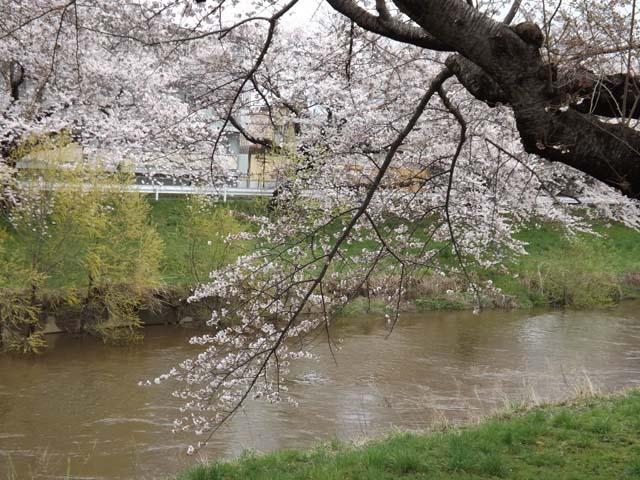 秋田市の桜が咲きました_f0019498_14471285.jpg