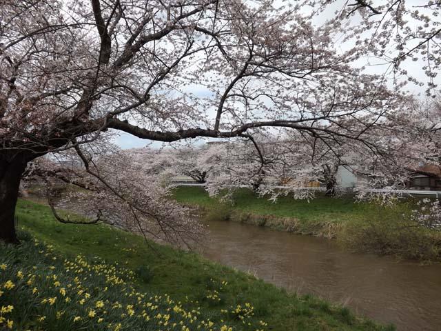 秋田市の桜が咲きました_f0019498_14473053.jpg